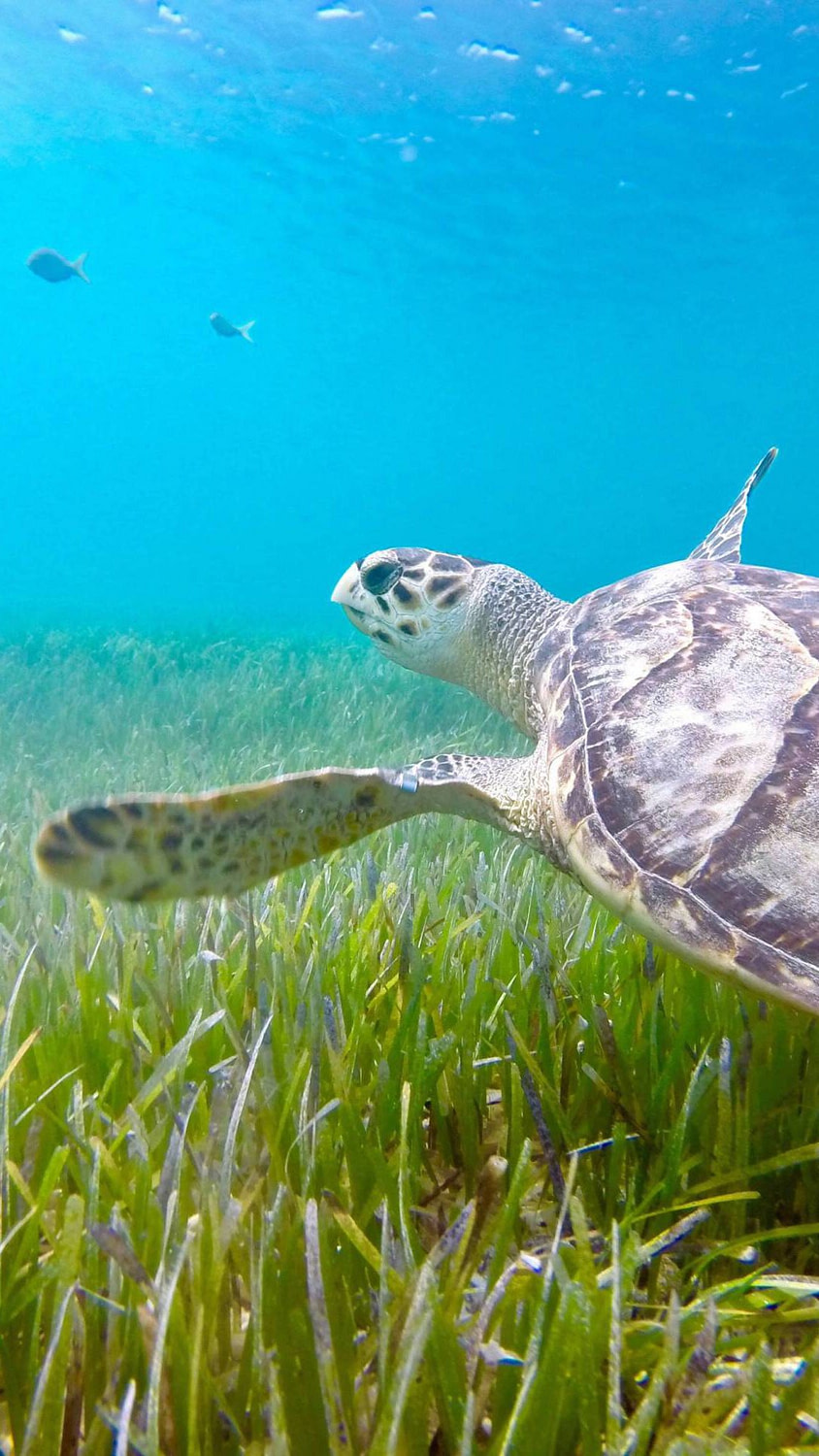 A scuba diving photo of a turtle roaming around the ocean